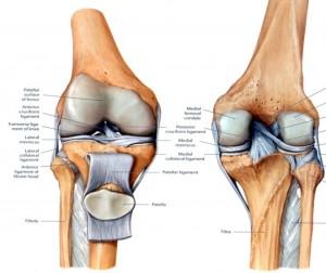Articulación tibio-femoral